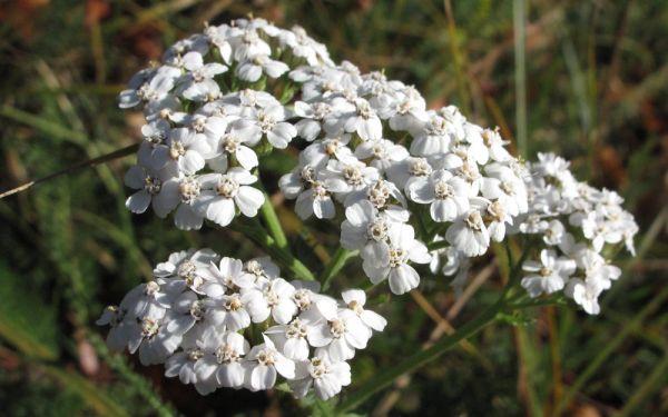 Achillea millefolium - Wiesen-Schafgarbe