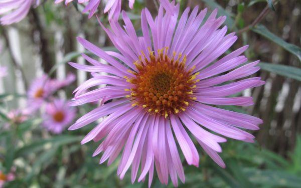Aster novae-angliae Silberrosa - Raublatt-Aster