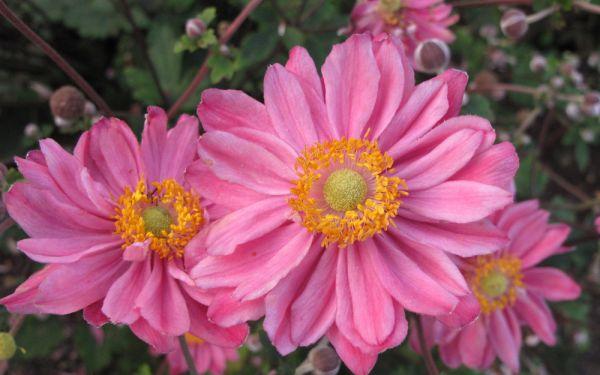 Anemone Japonica-Hybride Pamina - Herbst-Anemone