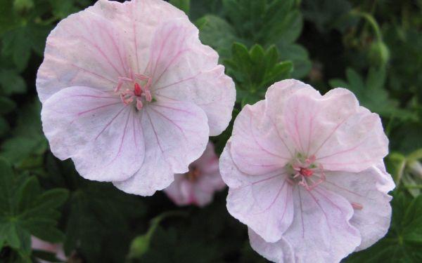 Geranium sanguineum Apfelblüte - Blut-Storchschnabel