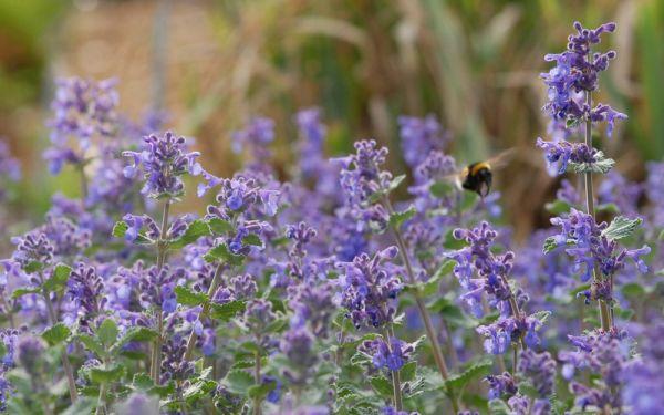 Nepeta racemosa Superba - Niedrige Katzenminze, Blauminze