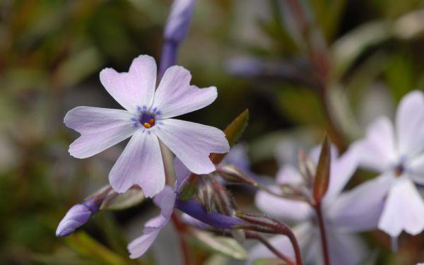 Phlox subulata Emerald Cushion Blue - Polster-Phlox, Teppich-Phlox