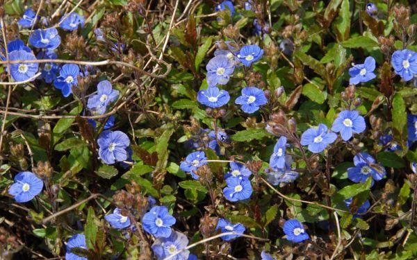 Veronica peduncularis Georgia Blue - Polster-Ehrenpreis