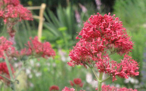 Centranthus ruber Coccineus - Spornblume