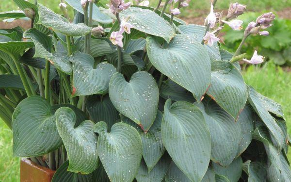 Hosta Hybride Halcyon - Blaublatt-Funkie