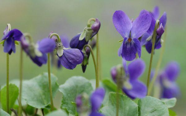 Viola odorata Donau - Duft-Veilchen