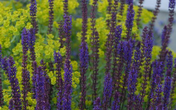 Salvia nemorosa Caradonna - Garten-Salbei, Steppen-Salbei