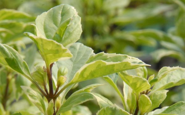 Ocimum x basilicum Pesto Perpetuo - Weißbuntes Strauch-Basilikum