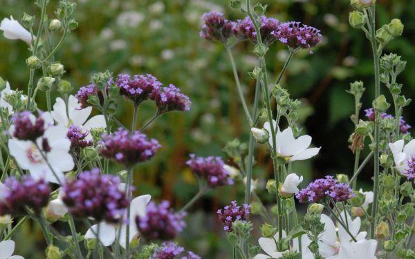 Verbena bonariensis - Patagonisches Eisenkraut
