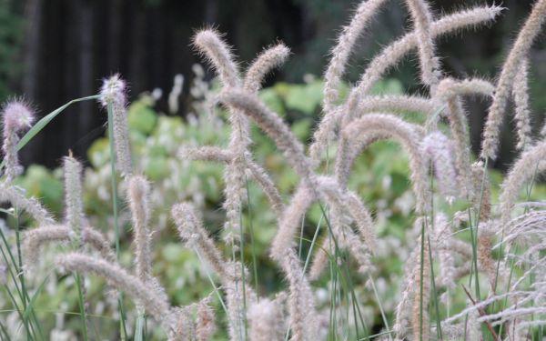 Pennisetum orientale Tall Tails - Hohes Orient-Lampenputzergras