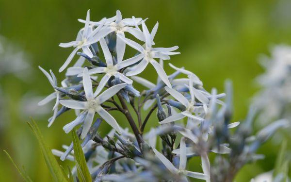 Amsonia tabernaemontana - Blausternbusch