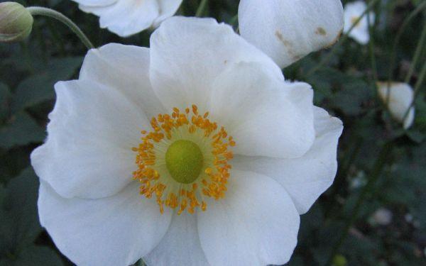 Anemone Japonica-Hybride Honorine Jobert - Herbst-Anemone