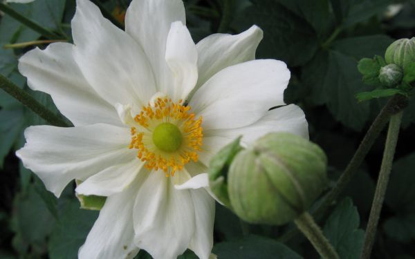 Anemone Japonica-Hybride Whirlwind - Herbst-Anemone