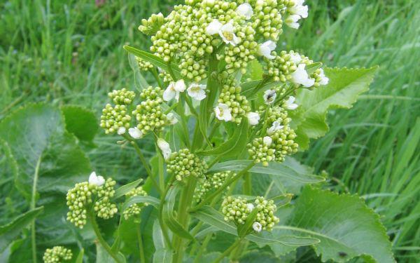 Armoracia rusticana  - Meerrettich, Kren