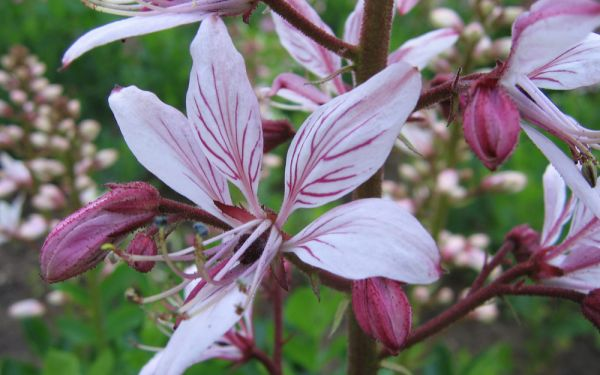 Dictamnus albus - Diptam, Brennender Busch