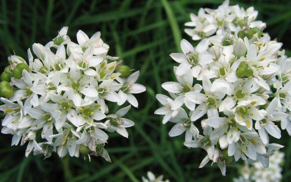 Allium tuberosum Monstrosum - Riesen-Schnittknoblauch