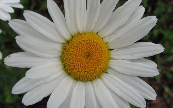 Leucanthemum Maximum-Hybride Amelia - Sommer-Margerite, Garten-Margerite
