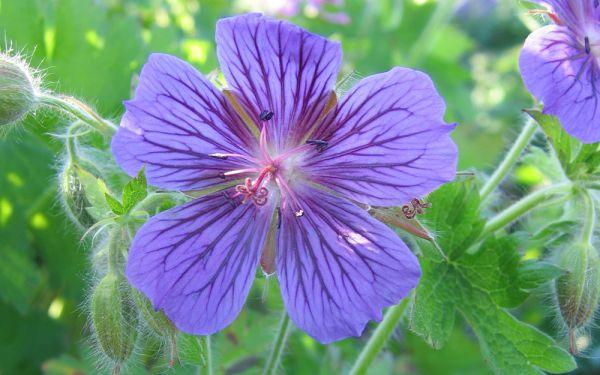 Geranium x magnificum Rosemoor - Pracht-Storchschnabel