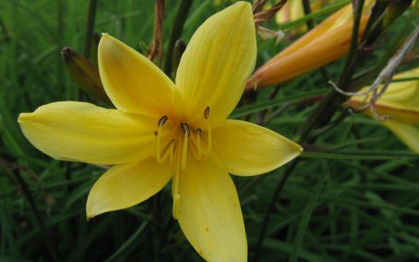 Hemerocallis minor - Kleinblütige Taglilie