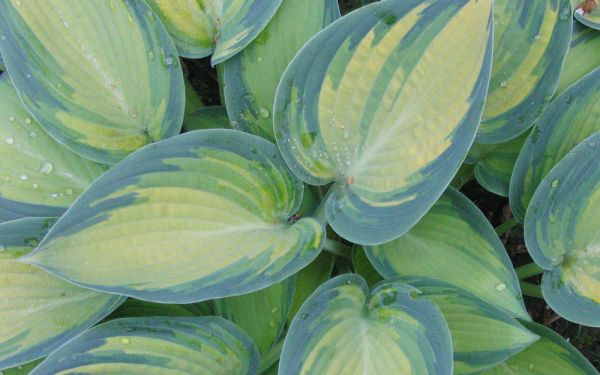 Hosta Hybride June - Blau-Gold-Funkie
