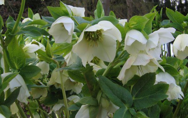 Helleborus Orientalis-Hybride Gemischte Farben - Lenzrose