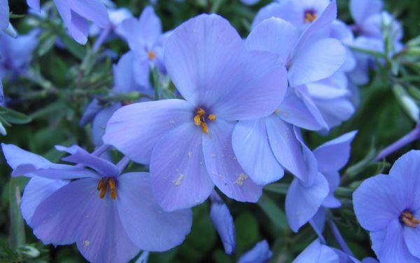 Phlox stolonifera Blue Ridge - Wander-Phlox