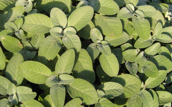 Salvia officinalis Berggarten - Breitblättriger Gewürz-Salbei