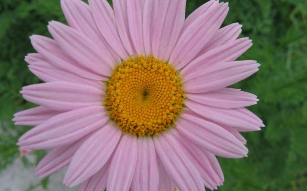 Tanacetum coccineum Robinsons Rosa - Margerite
