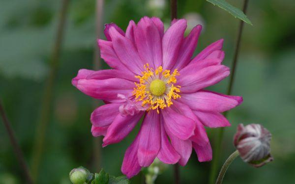 Anemone Japonica-Hybride Bressingham Glow - Herbst-Anemone
