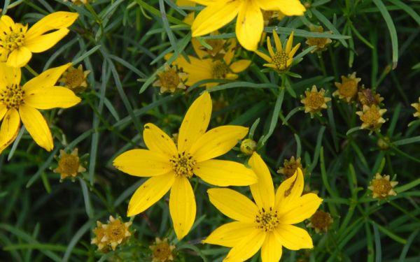 Coreopsis verticillata Grandiflora - Mädchenauge, Schönauge