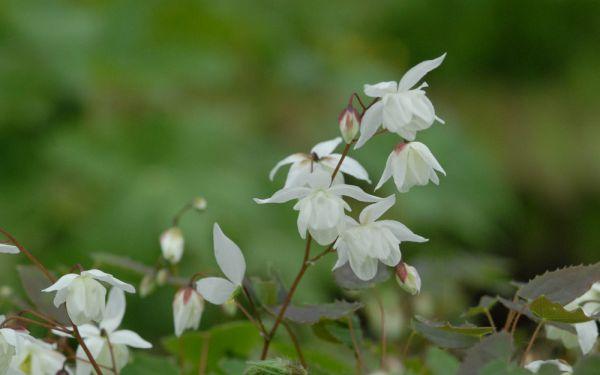 Epimedium x youngianum Niveum - Elfenblume