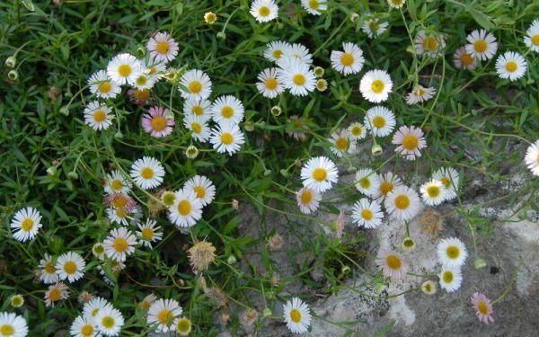 Erigeron karvinskianus Blütenmeer - Spanisches Gänseblümchen