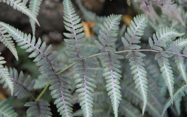 Athyrium niponicum Metallicum - Japanischer Regenbogenfarn, Brokatfarn