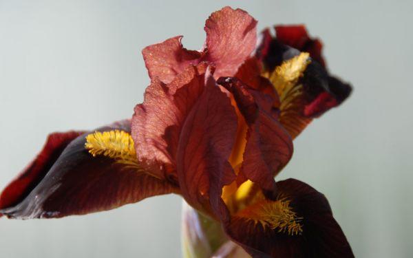 Iris barbata-nana Little Buccaneer - Zwerg-Bart-Iris