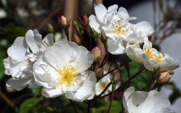 Rosa filipes Kiftsgate - Rambler