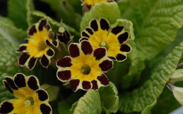 Primula Elatior-Hybr. Victorian Laced Primroses - Gesäumte Primel