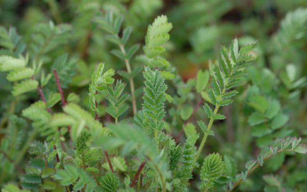 Sanguisorba minor - Kleiner Wiesenknopf, Pimpinelle