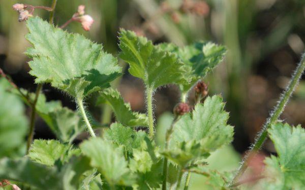 Heuchera Hybride Strawberry Swirl - Purpurglöckchen