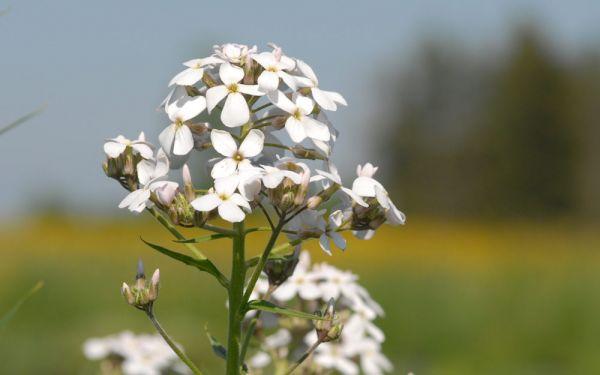 Hesperis matronalis Alba - Nachtviole