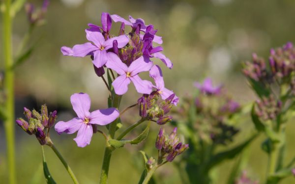 Hesperis matronalis - Nachtviole