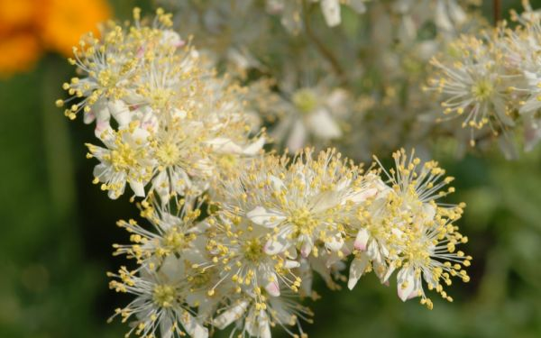 Filipendula vulgaris Plena - Gefüllte Knollen-Spierstaude
