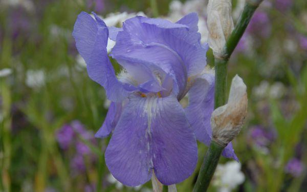 Iris pallida - Bleiche Schwertlilie