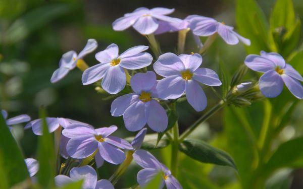 Phlox idahonis - Idaho-Phlox