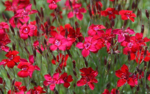 Dianthus deltoides Leuchtfunk - Heide-Nelke