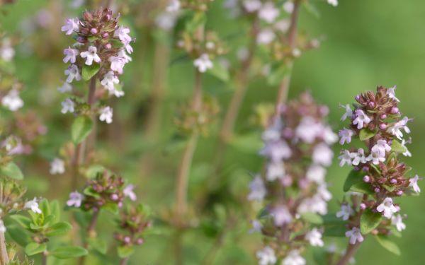 Thymus Hybride Ginger - Ingwer-Thymian