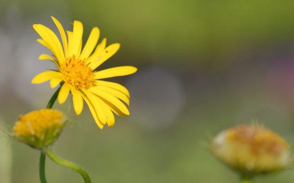 Doronicum pardalianches - Kriechende Gämswurz