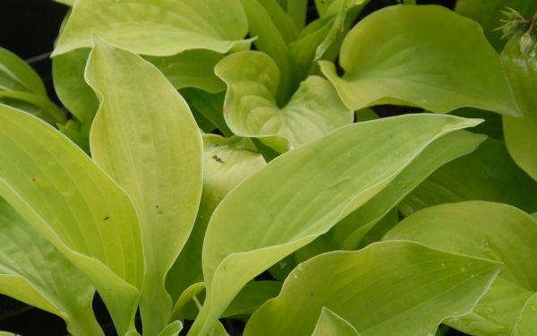 Hosta Hybride Green Acres - Riesen-Herzblatt-Funkie