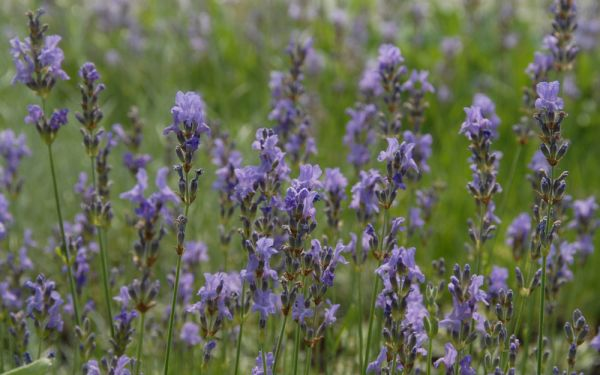 Lavandula angustifolia Dwarf Blue - Garten-Lavendel
