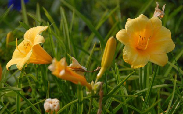 Hemerocallis Hybride Stella de Oro - Kleinblütige Taglilie