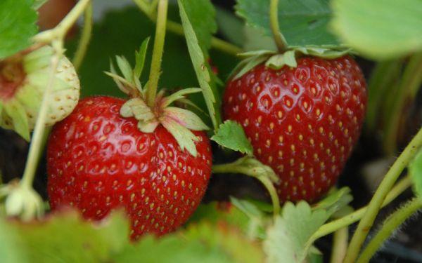 Fragaria x ananassa Malwina ® - Erdbeere